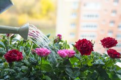 The urban urge for green:balcony roses are