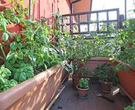 Urban vegetable garden with large pots on the terrace Stock Photo