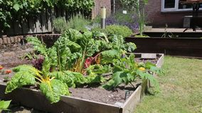Urban vegetable garden. Little urban vegetable garden with colorful rainbow chard in different colors in the sun and moving through the wind in the sun stock video