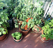Urban vegetable garden with red tomatoes Stock Images