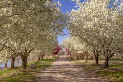 Blooming crab apple trees lining bike path Stock Photography