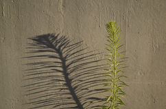 Urban weed. Plant casting shadow on painted wall Stock Images