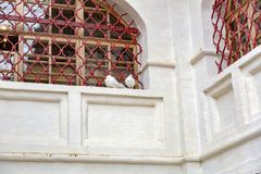 Urban white pigeons Royalty Free Stock Images
