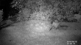 Urban wild fox on house lawn at night. stock video footage