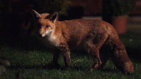 Urban wild fox on house lawn at night. stock footage