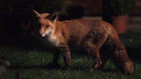 Urban wild fox on house lawn at night. stock footage