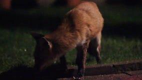 Urban wild fox on house lawn at night. stock video