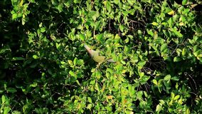 Urban Wild Life, Wild Thick-billed Green Pigeon Enjoy Eating Fruits on a Big Tree in the Afternoon Sunlight. Bangkok, Thailand stock video footage