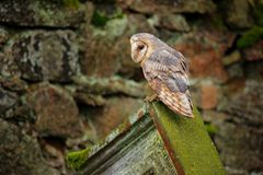 Urban wildlife. Bird barn owl. Royalty Free Stock Photography