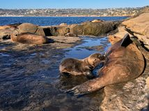 Urban wildlife California Sea Lion Stock Images