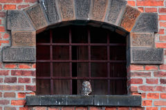 Urban wildlife. Little owl, Athene noctua in the window with metal grille. Orange brick wall with owl. Urban wildlife with bird. B Royalty Free Stock Photography