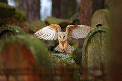 Urban wildlife. Magic bird barn owl, Tito alba, flying above stone fence in forest cemetery. Wildlife scene nature. Animal behavio Stock Photography