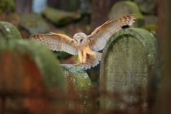 Urban wildlife. Magic bird barn owl, Tito alba, flying above stone fence in forest cemetery. Wildlife scene nature. Animal behavio Royalty Free Stock Images