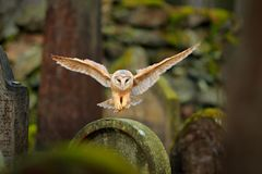 Magic bird barn owl, Tito alba, flying above stone fence in forest cemetery. Wildlife scene nature. Animal behaviour in wood. Barn