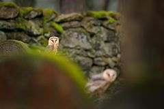 Two magic bird barn owl, Tito alba, flying above stone fence in forest cemetery. Wildlife scene nature. Animal behaviour in wood. Stock Photography