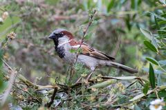 Urban wildlife ornithology. Male house sparrow in a garden hedge. Urban wildlife ornithology. Male house sparrow Passer domesticus. Bird perched in a garden Stock Images