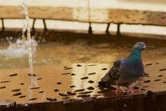 Urban wildlife. A pigeon drinking from water fountain. Stock Photos