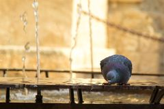 Urban wildlife. A pigeon drinking from water fountain. Stock Photo