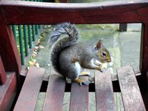 Urban wildlife: squirrel on bench - h Royalty Free Stock Photo