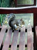 Urban wildlife: squirrel on bench - v Royalty Free Stock Image