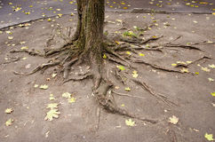 Urban yard tree roots Royalty Free Stock Images