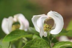 Urbaniana di fioritura messicano 2 dello ssp di cornus florida del corniolo Fotografia Stock Libera da Diritti