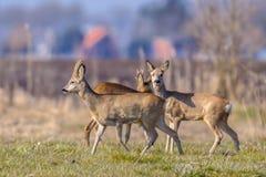 Urbanized group Roe deer Stock Photos