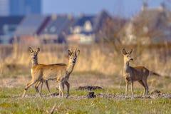 Urbanized Roe deer Stock Images