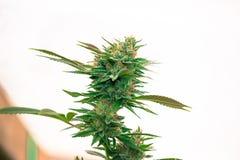 Urbano coltivi la marijuana medica Immagine Stock Libera da Diritti
