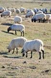 urbasa овец ряда navarre стаи стоковая фотография rf