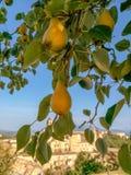 Urbino - Birnenbaum Lizenzfreie Stockfotografie