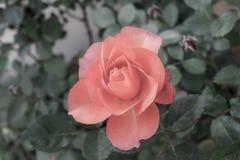 Urblekt rosa färgros Arkivbilder