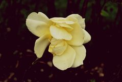 urblekt roseyellow Royaltyfria Bilder