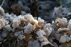 Urblekt vanlig hortensia Arkivfoton
