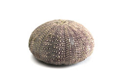 Urchin Stock Photo