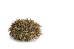 Urchin. With spine on  a white background Royalty Free Stock Image