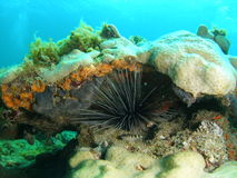 Urchin Royalty Free Stock Images