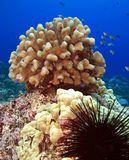 Urchin and Coral Head Stock Images