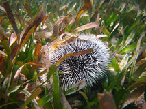 Urchin in the Grass Royalty Free Stock Photography
