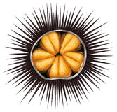 Urchin. Inside of urchin in shell full of spikes Stock Images