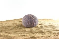 Urchin on sand Stock Photos