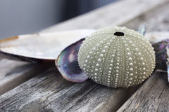 Urchin shell Stock Photo