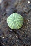 Urchin shell Royalty Free Stock Photos