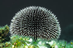 Urchin Spines. Sea Urchin spines in close up Stock Photography