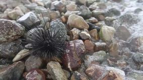 Urchins on the coast stock footage