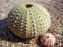 Urchins on Sand. Close up of urchin shells on sand Stock Photography