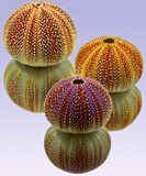 Urchins Three Royalty Free Stock Photography
