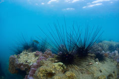 Urchins Royalty Free Stock Images