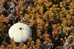 urcin моря carapace стоковое изображение rf