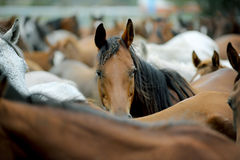 Urebred arabian horses Stock Photography